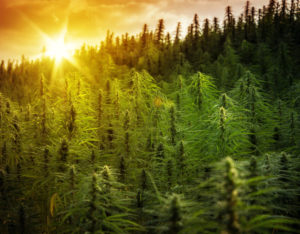 5 Industry Insights on the Future of CBD